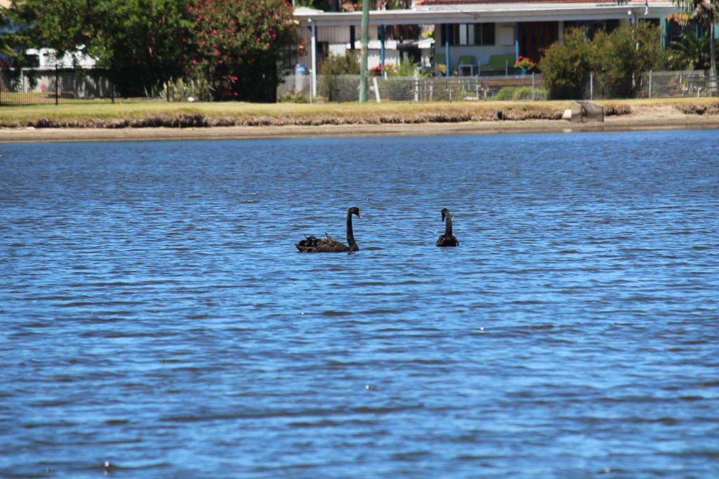 Black Swans at Swansea at Lake Macquarie