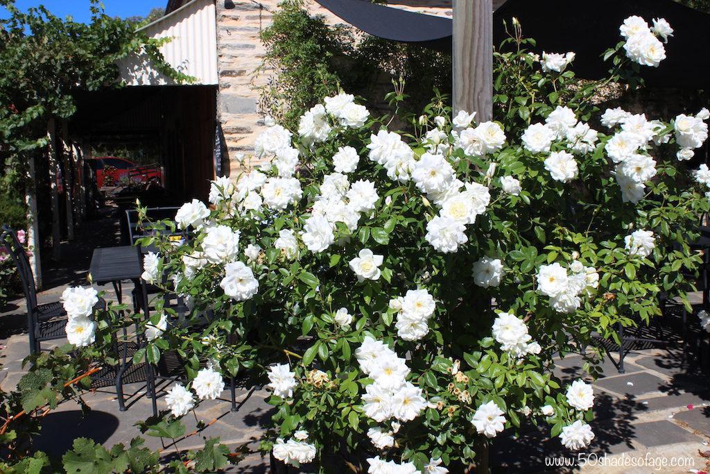 Glorious rose gardens in Mintaro Village