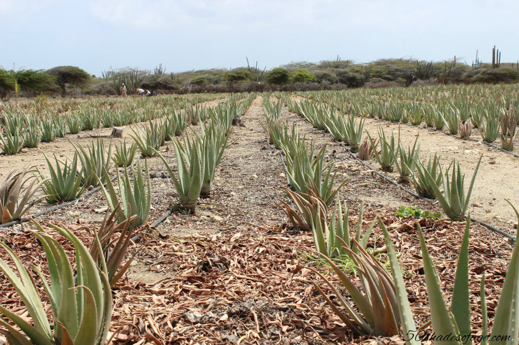 Aloe Vera Plants in Aruba