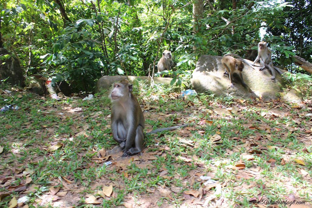 Langkawi Rainforest Monkeys