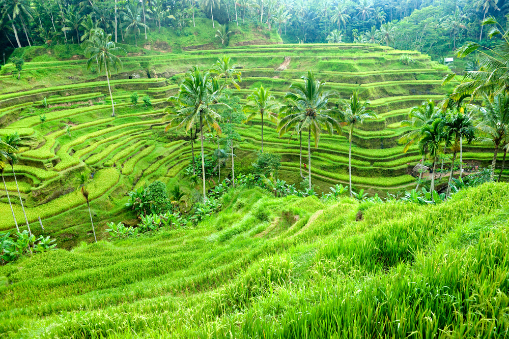 Ubud Terraced Rice Fields