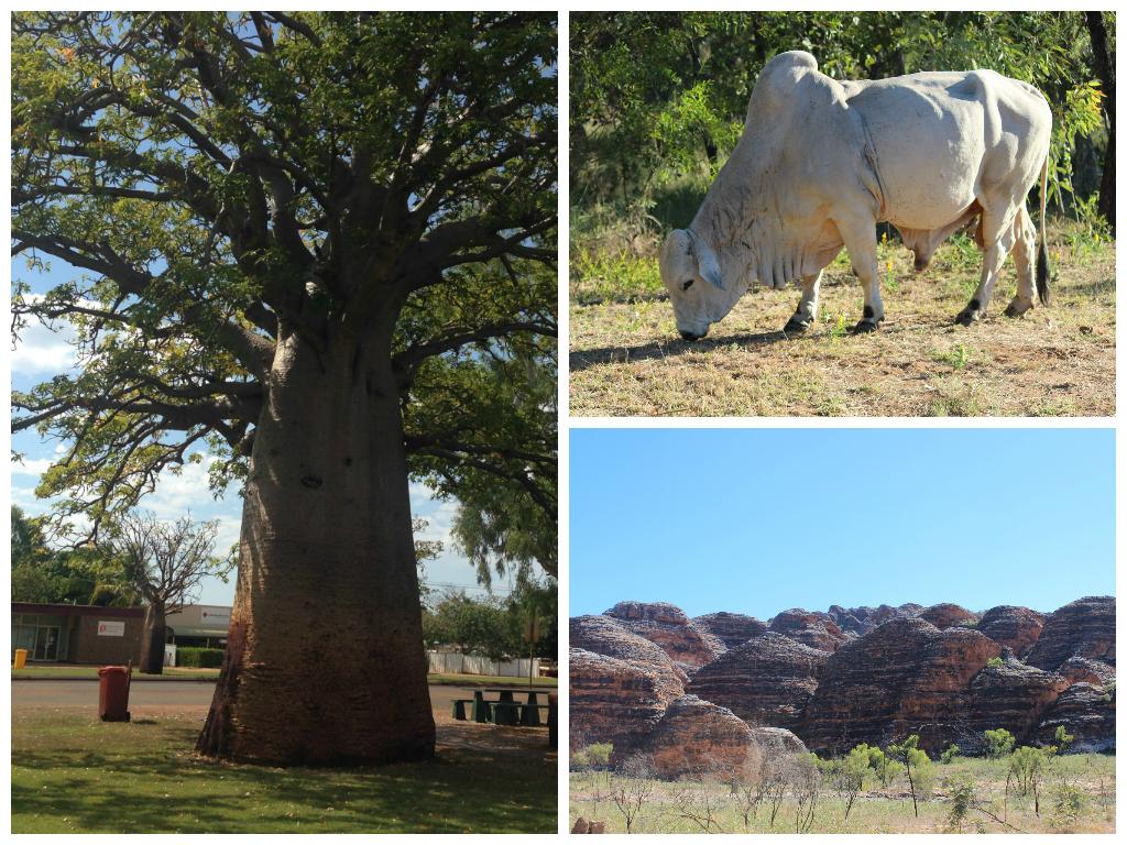 Kimberley Dreaming: Boabs, Bulls & Bungle Bungles